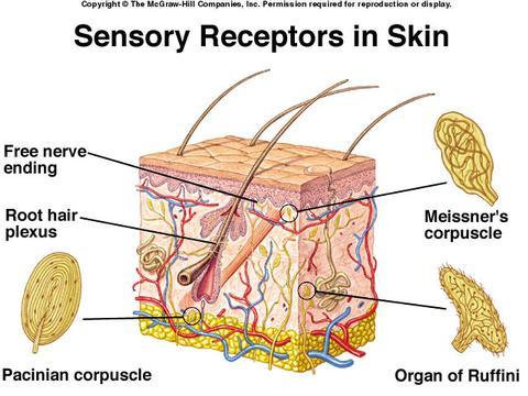 Ryc. Nr 1. Receptory dotyku. Źródło: http://udel.edu/~mratner/project3a/temperature.jpg