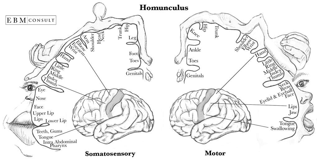 Ryc. 2. Reprezentacja czuciowa oraz motoryczna poszczególnych części naszego ciała.